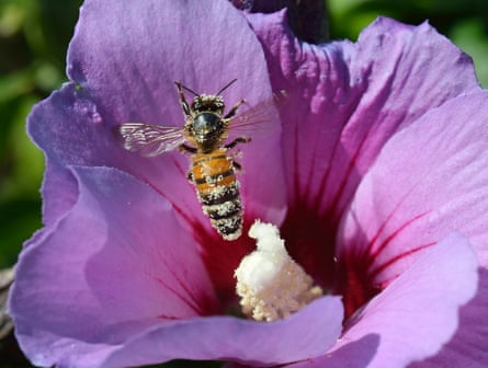 A honeybee packed with pollen landing on a hibiscus flower.