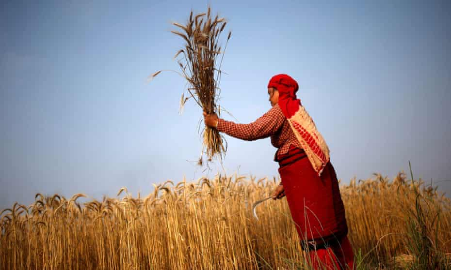 A woman harvests wheat on a field in Bhaktapur, Nepal.