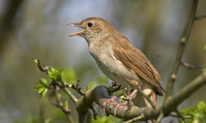 By avian musical standards, the male nightingale is a virtuoso