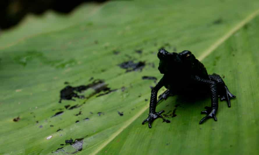A frog covered in oil sits on a plant in an oil contaminated swamp in El Reventador, just east of Quito,, Ecuador