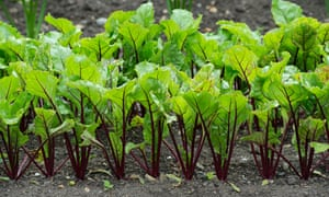 rows of young beetroot