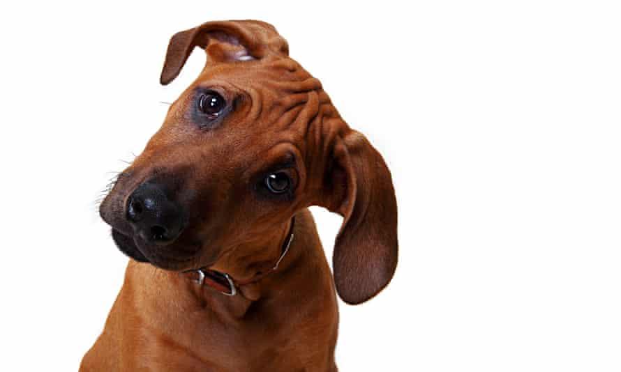 A Rhodesian Ridgeback puppy looking inquisitive