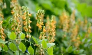 Lathyrus aureus (Golden perennial sweet pea)
