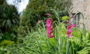 Byzantine gladiolus
