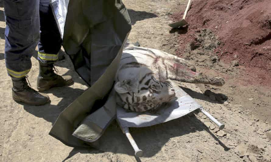 An official covers the body of a tiger near a zoo in Tbilisi, Georgia, after it mauled a man to death.