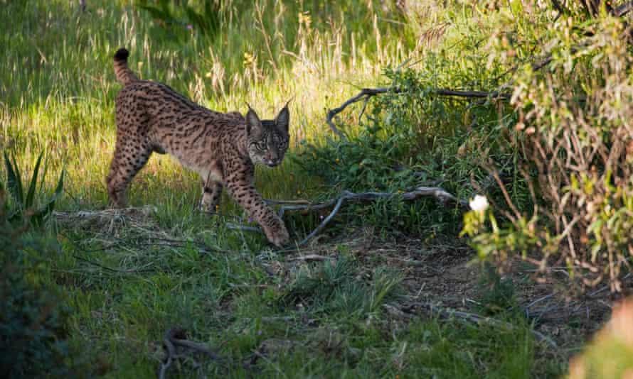 Wild Iberian lynx (Lynx pardinus) female, one year walking, Sierra de Andújar Natural Park