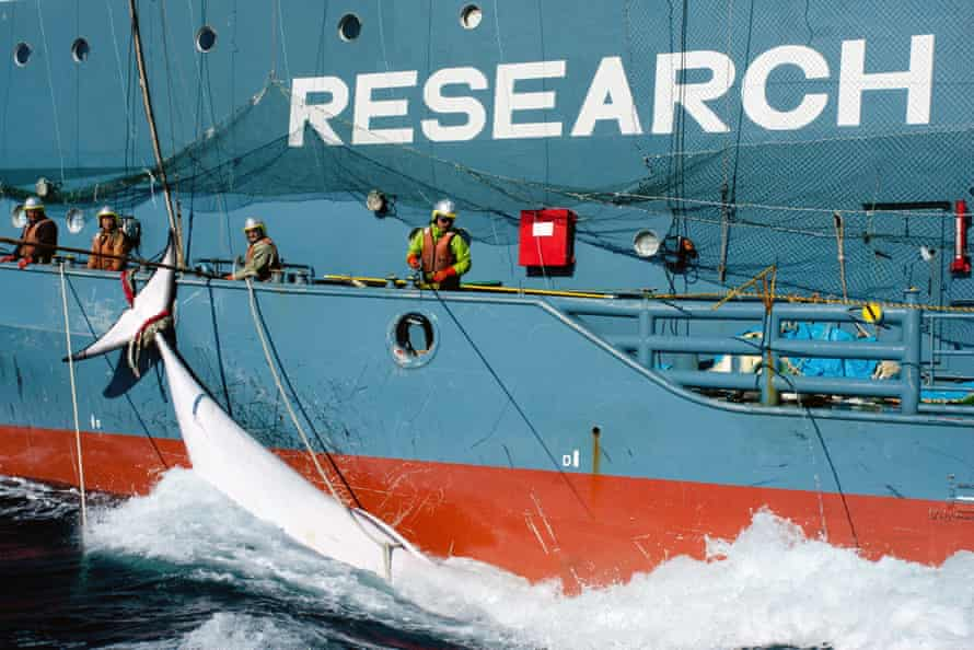 Japanese whaling fleet's harpoon vessel Yushin Maru No 2, with a minke whale in the Southern Ocean in March 2014.
