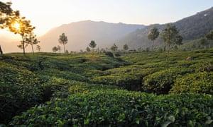 Indian tea plantation
