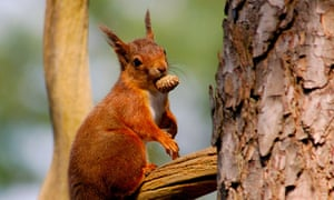 A red squirrel with a pine cone in its mouth