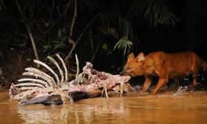 Dhole (Cuon alpinus) on a Sambar deer kill in Khao Yai National Park in Thailand
