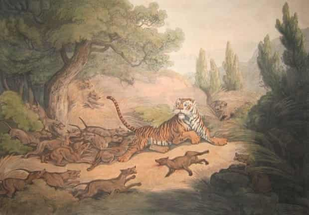 An 1807 painting entitled A Tiger Hunted by Wild Dogs that depicts dholes chasing a tiger. Researchers still debate if stories of dholes killing tigers are myth or truth.