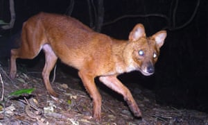 Dhole on camera trap in Laos.