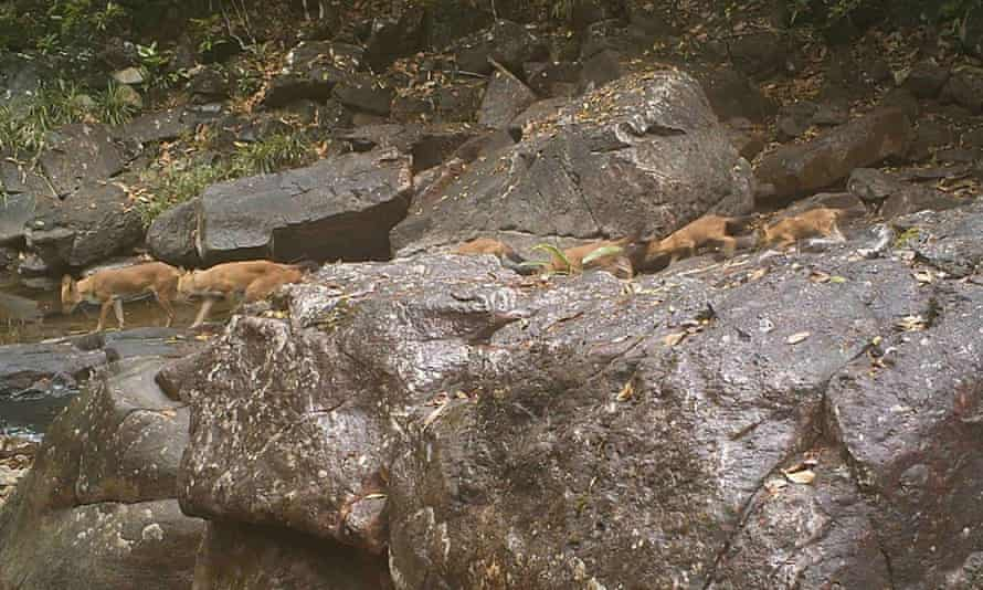 Large pack of dholes in Virachey National Park.