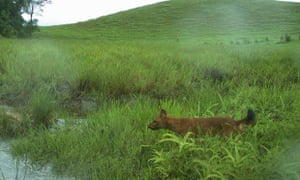 Dhole on camera trap in remote region of Virachey National Park in Cambodia.