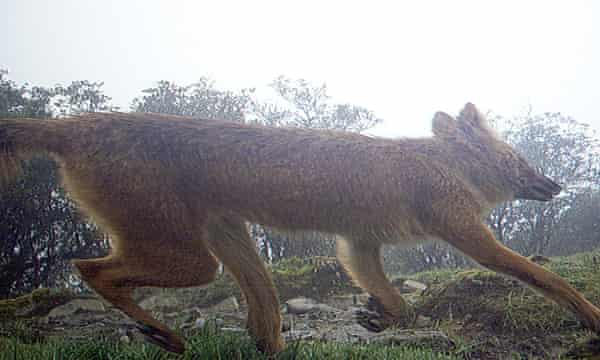 Dhole on camera trap in Nepal.