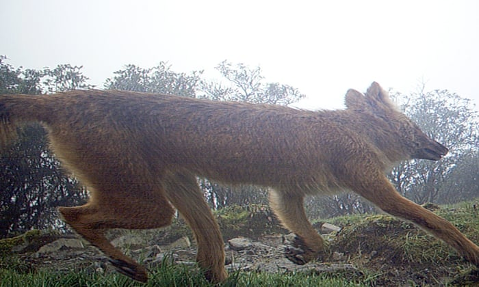 Saving the dhole: The forgotten 'badass' Asian dog more