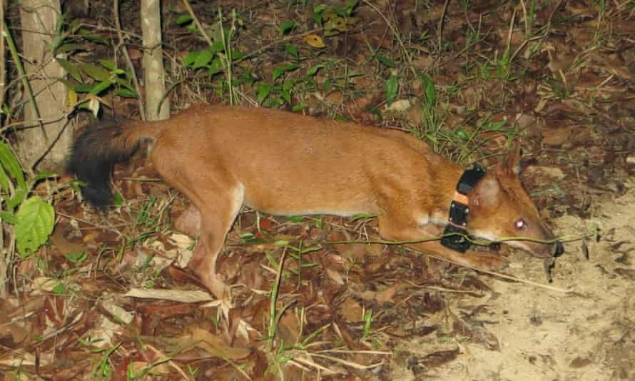 This collared dhole in Thailand could tell us much about the species.