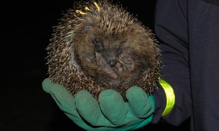 Hedgehog in Regents Park