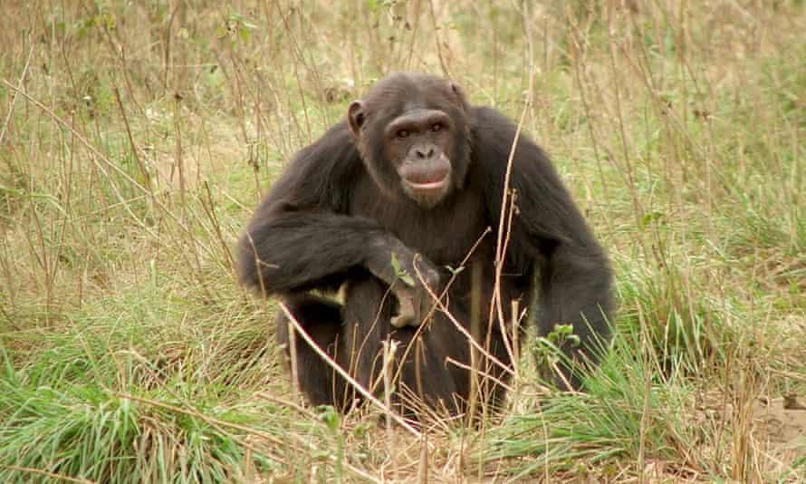 A chimpanzee at Tchimpounga Chimpanzee Sanctuary, where the study was conducted.
