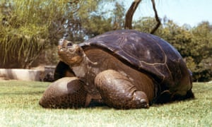 Speed, a Galapagos tortoise that has been at the zoo since 1933
