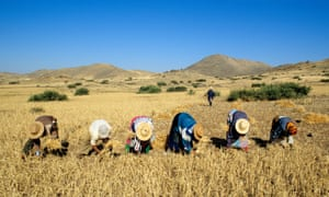 Collecting wheat in Morocco