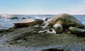 Turtle choking