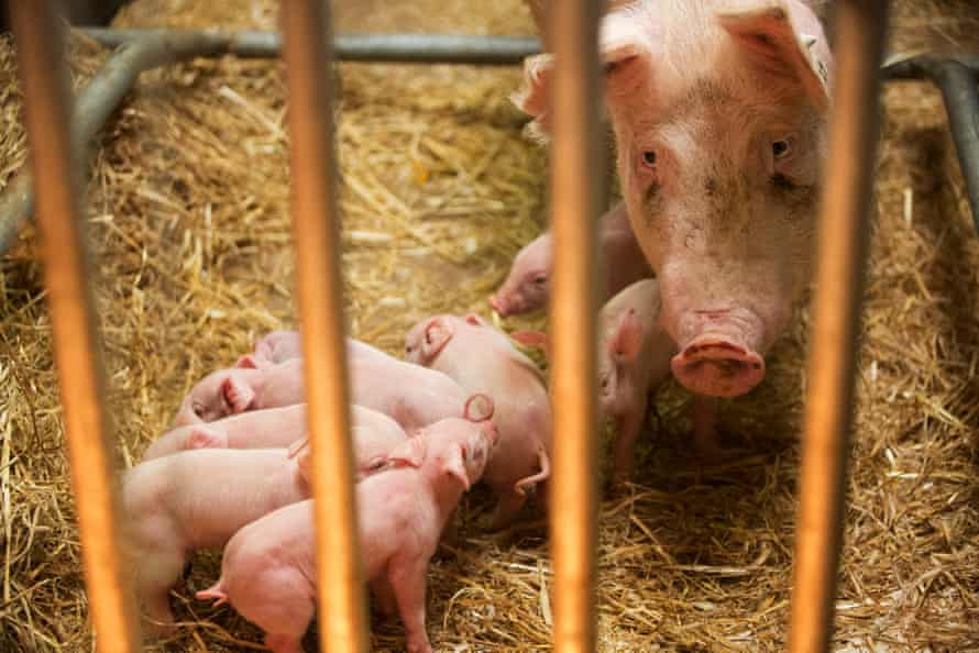 """Bruce Whitelaw Professor of Animal Biotechnology with super pigs at The Roslin Institute. These pigs are first animals in UK to have been created using new """"gene editing"""" tools that are far more efficient that original GM methods and overcome some of the objections."""