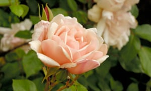 "'Once-flowering rambler roses such as ""Albertine"" can be deadheaded.'"
