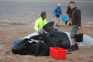 Pilot whales stranded on the sand, in the Kyle of Durness 22 July 2011