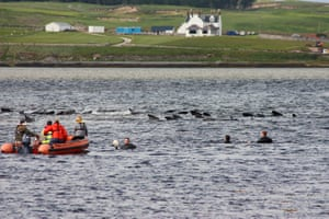 Rescuers try to guide stranded pilot whales back to sea in the Kyle of Durness 22 July 2011