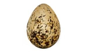 Jerdon's courser egg