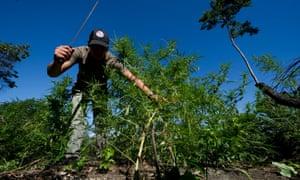 A Paraguayan SENAD (Antidrug National Agency) member cuts marijuana plants found in a marijuana grower's improvised camp into the woods in Pedro Juan Caballero, Paraguay
