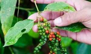 Kampot pepper on bush.