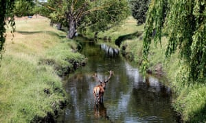 A Red Deer stag cools down in a river in Richmond Park