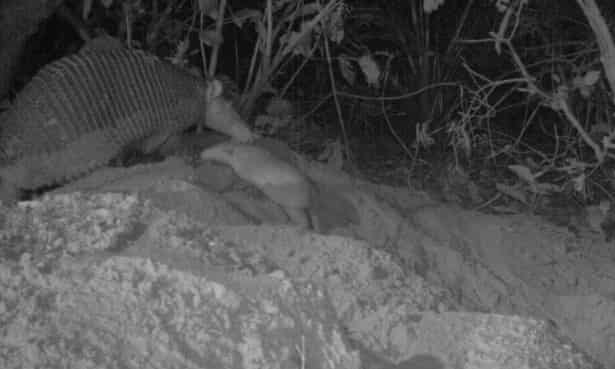 Alex's first steps out of the burrow beside the much larger Isabelle. The team believes he was about 24 days old in this camera trap photo.