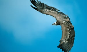 griffton vulture