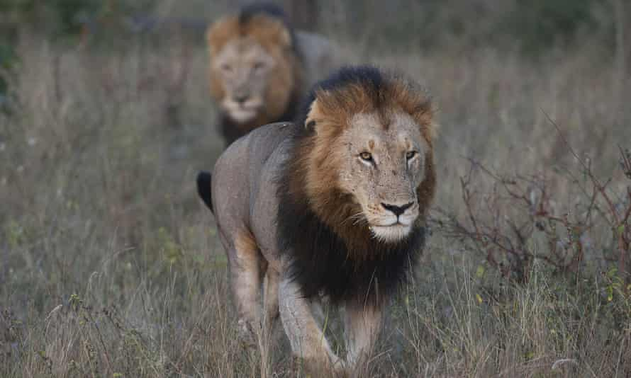 Two lions in South African national park