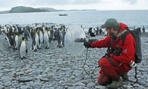 Recording king penguins