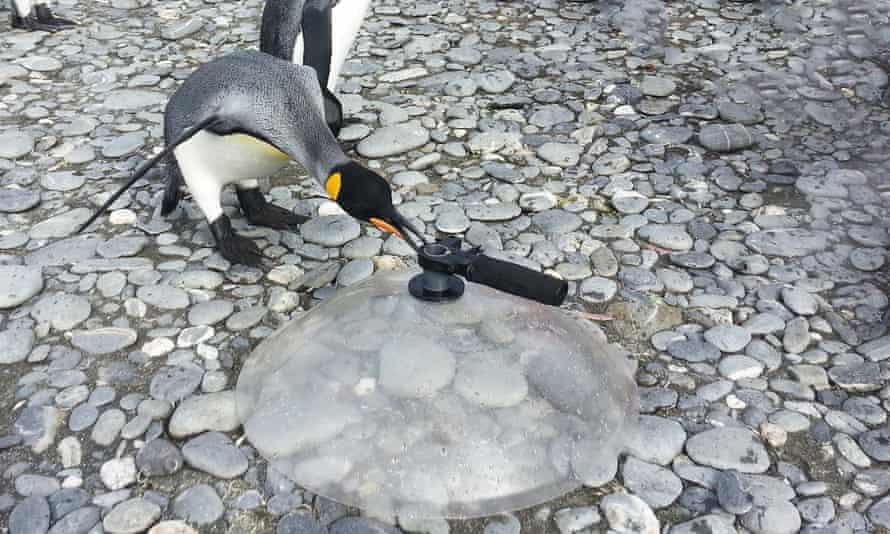 King penguin parabola