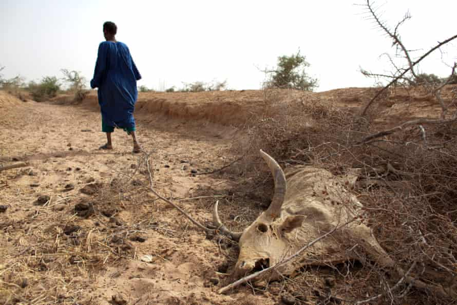 Herder Oumar Ba walks away after showing where one of his cows died, he says, of hunger, outside Dikka village, in the Matam region of northeastern Senegal