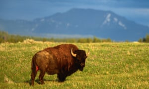Bison are fast, unpredictable and dangerous, Yellowstone national park officials have warned after several attacks on tourists.