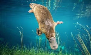 The platypus, Ornithorhynchus anatinus, spends more of its time in so-called REM sleep than any other mammal. Photograph: Dave Watts/Alamy