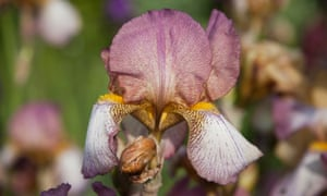 In the pink: Iris 'Benton Deidre'.