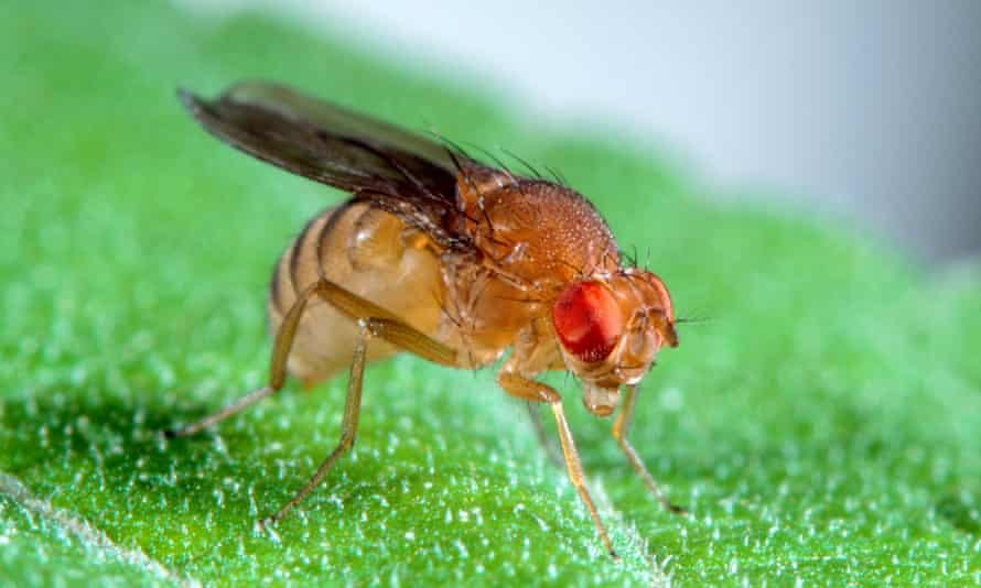Drosophila fruit fly.