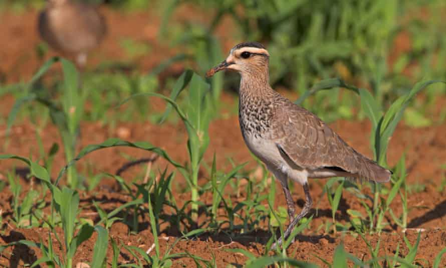 Sociable Plovers (Vanellus gregarius) standing on a field