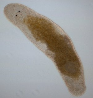 The hermaphrodite flatworm, <em>Macrostomum hystix, </em>which can self-fertilise by injecting sperm into its own head.