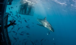Cage diving with great white sharks off the Neptune Islands.