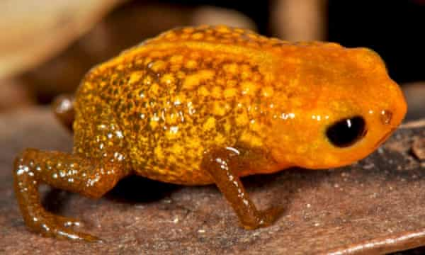 Two of the new species of miniaturized frog found in the Brazilian Atlantic Forest are pictured. Image is of Brachycephalus auroguttatus