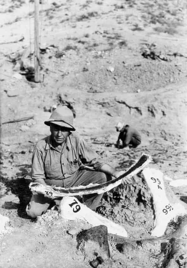 Dr Barnum Brown examines dinosaur bones found in a dry lake in Wyoming in 1934. Image by   Bettmann/Corbis