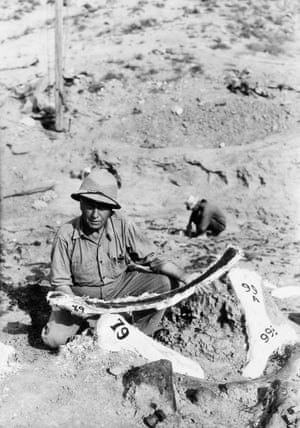 Dr Barnum Brown examines dinosaur bones found in a dry lake in Wyoming in 1934. Image by   Bettmann/Corbis
